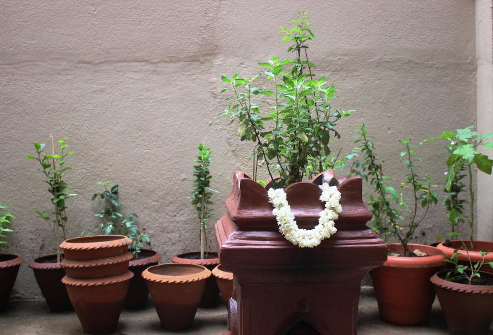 Tulsi plant brings positivity